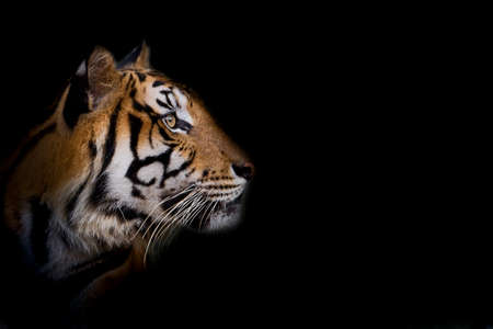 Photo pour Portrait of standing adult Indochinese tiger outdoors. (Panthera tigris corbetti) in the natural habitat, wild dangerous animal in the natural habitat, in Thailand. - image libre de droit