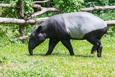 Foto de Malayan tapir (tapirus indicus) Thailand. - Imagen libre de derechos