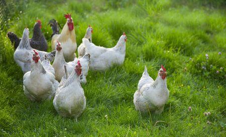 Foto für Rooster and Chickens. Free Range Cock and Hens - Lizenzfreies Bild