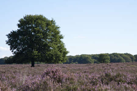 Tree on the veluwe in the netherlands