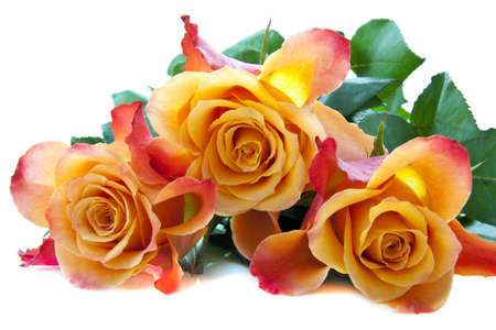 Three colorful lovely roses close up for background use
