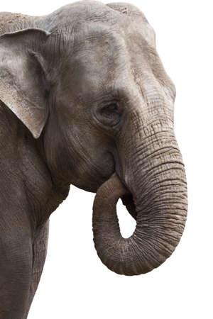 Elephant head closeup on a white background