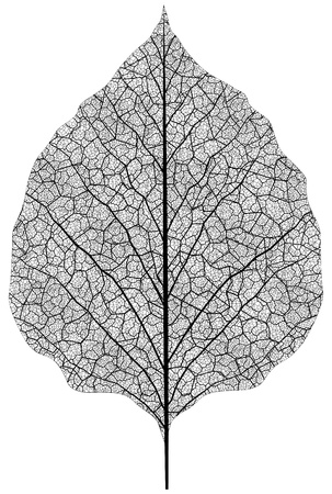 manually drawn leaf skeleton. Eps8 vector