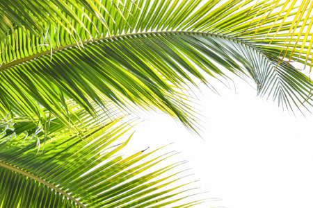 Foto per Palm tree leaves tropical plant green foliage against natural summer or spring sky for Plam Sunday religious holiday background - Immagine Royalty Free