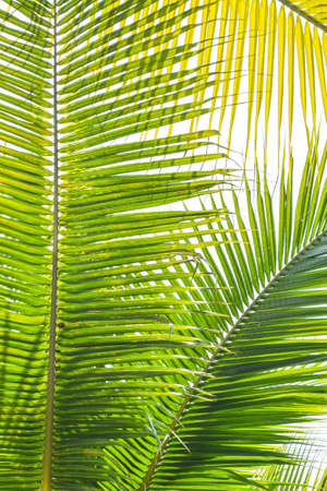 Foto per Palm Sunday background for religious holiday backdrop with green tropical tree leaves against natural summer sky - Immagine Royalty Free