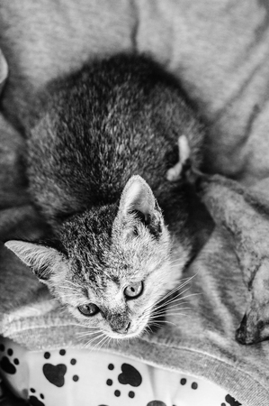 Young crazy surprised cat make big eyes closeup. surprised cat or kitten funny face big eyes. Young cat looking surprised and scared. Emotional surprised wide big eyed cat at home