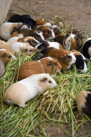 Many different guinea pigs in grass, close upの写真素材