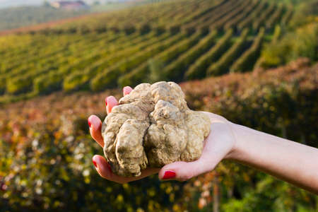 White truffles from Piedmont, Italy, in the hands of a woman in the background a landscape of hills with vineyards of Langhe