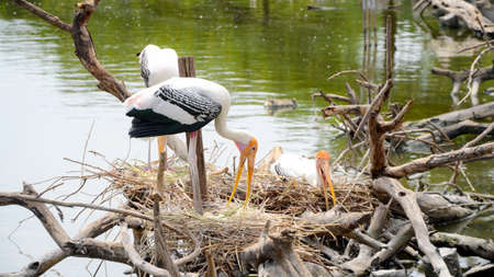 Nest colonial Of Painted Stork (Mycteria leucocephala) in nature.