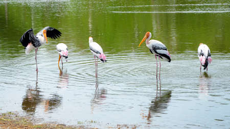 The courtship behavior Of Painted Stork (Mycteria leucocephala) in nature.