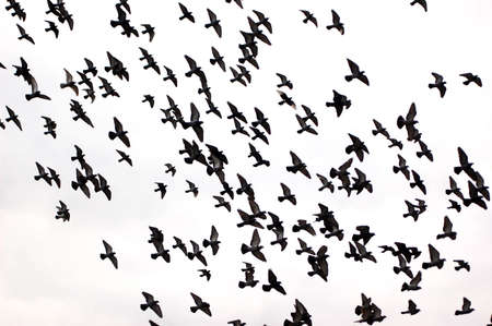 Silhouettes of a flock of pigeons against a white background