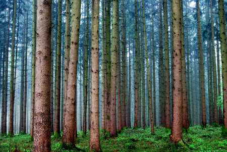 Rainy day in a pine forest