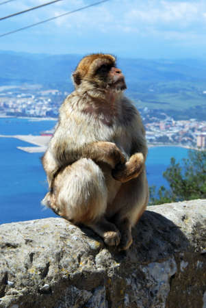 Barbary Ape Macaca Sylvanus sitting on a wall near the top of the rock with the Mediterranean Sea and Spanish coastline to the rear, Gibraltar, United Kingdom, Western Europe.