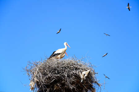 Adult storks n a large nest made of twigs and branches on a telegraph pole with storks soaring to the rear against a blue sky, Algarve, Portugal, Europe.