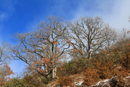 downy oak or pubescent oak tree, branch and trunk in winter