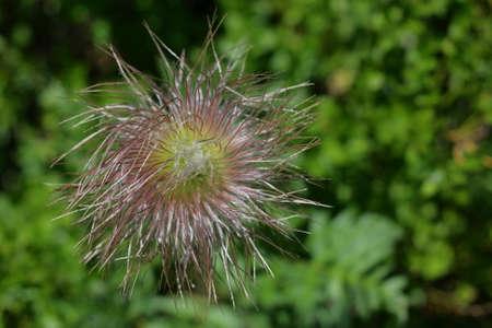 fruit of alpine pasqueflower or alpine anemone, Pulsatilla alpina