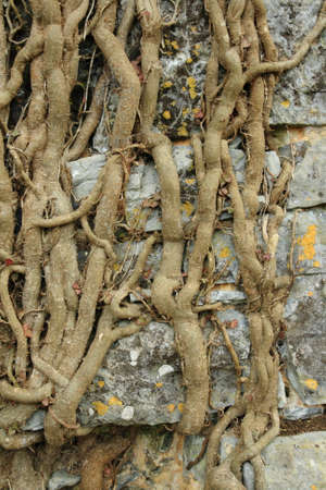 roots of ivy on stone wall
