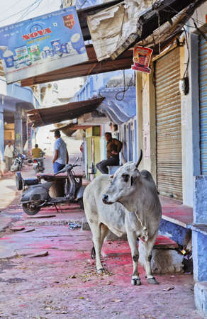 Photo pour Portrait of the village at  Shri Nathji Mandir Rajasthan in India incorporating a cow sacred to Hinduism who is free to roam around the area, Remains of the Holi festival of color stains on the ground - image libre de droit