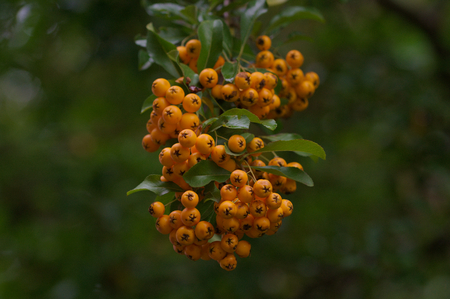Sorbus aucuparia close up