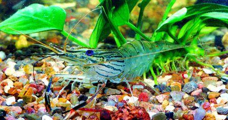Fresh-water striped shrimp