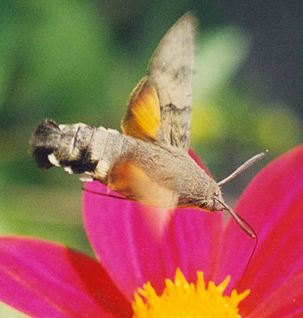 Butterfly Macroglossum stellatarum, drinking nectar from a flower