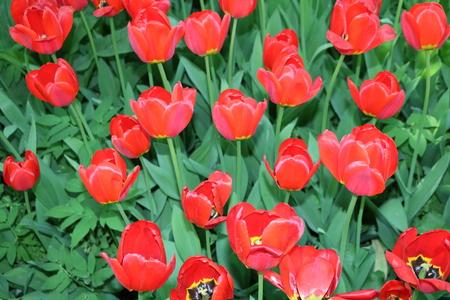 Photo pour Tulip (Tulipa) - genus of perennial herbaceous bulbous plants lily family - image libre de droit