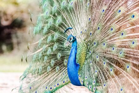Photo pour capture of peacock with its magnificent tail opened wide - image libre de droit
