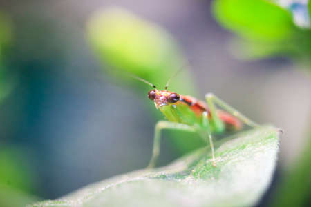 Photo pour praying grasshopper babies on leaves with a blurred background - image libre de droit
