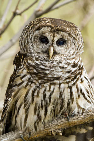Close up of barred owl in ca
