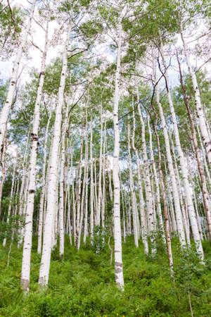 Aspen Forest Near Crested Butte
