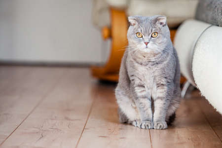 Scottish fold breed domestic cat sits on wooden floor near the scratched leather sofa. Left side space for copy. Cat scratches the leather of furniture. Concept of damage from pets in home.