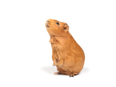 Guinea pig stands on its hind legs (ramps). Isolated on white background.の写真素材