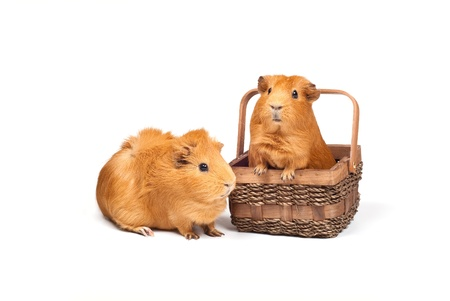 Two Guinea pigs. One sits in  wooden basket and another one sits near. Isolated on white background.の写真素材