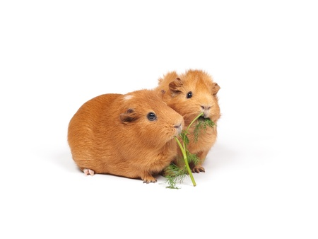 Two guinea pigs eats dill (grass). Isolated on white background.の写真素材
