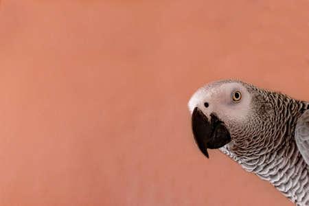 Photo pour Close-up portrait of a gray parrot (Psittacus erithacus) with pink background. Surprise concept. - image libre de droit
