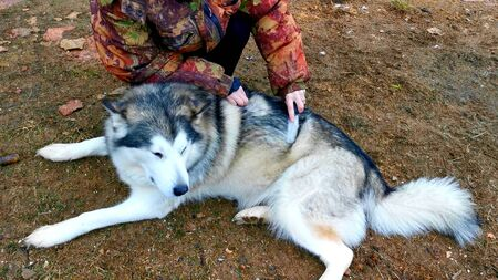 Photo pour A woman is brushing the dog hair of a husky - image libre de droit