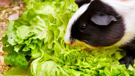Photo pour The head of a Guinea Pig which is eating a green salad - image libre de droit