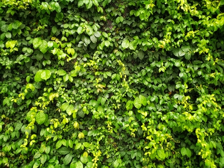 Foto de Green creeper or green leaves on the wall texture background - Imagen libre de derechos