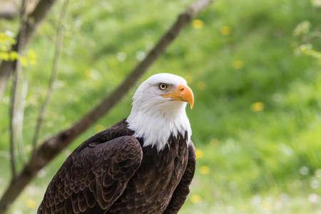 Photo pour Elegant bald eagle flying experience in a nature - image libre de droit