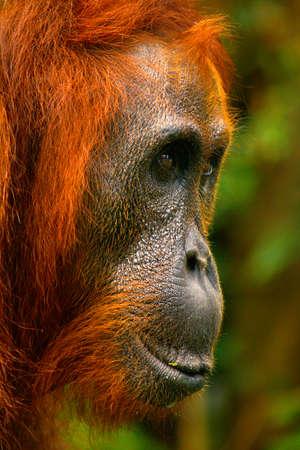 Photo pour close up of the face of orangutan in the rainforest of borneo - image libre de droit