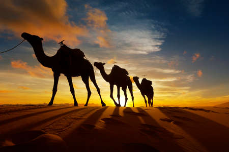 Photo for Caravan of camel in the sahara desert of Morocco at sunset time - Royalty Free Image