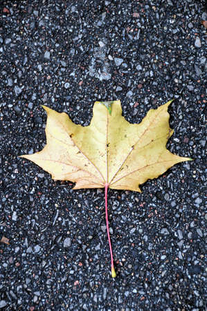 yellow maple leaf on pavement