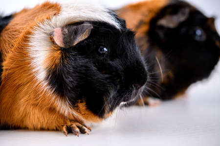 two black,white and red guinea pig in front of white backgroundの写真素材