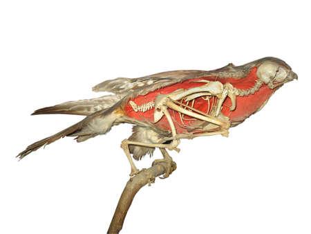 stuffed falcon skeleton isolated over white background