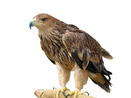 young brown eagle sitting on a support isolated over white background