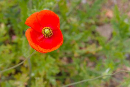 Amapola, Papaver rhoeas, creciendo en terreno inculto