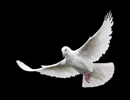 White Dove in Flight 6. A free flying white dove isolated on a black background.