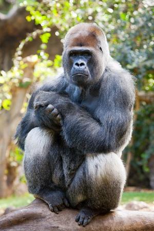 Male silverback gorilla posing on a log