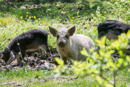 Young white hairy pig looking at the camera. Breed the hungarian Mangalica. Russia, Krasnodar region.