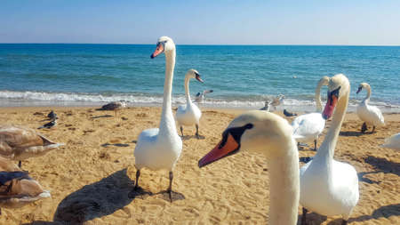 Photo pour Swans and other birds on the sandy beach. - image libre de droit